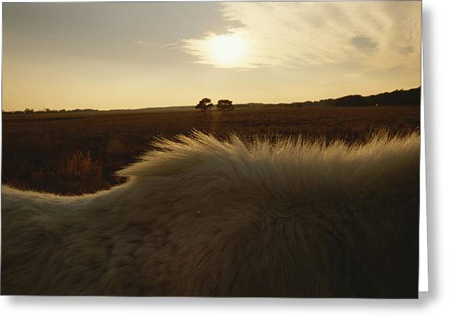 The Late Day Sun Illuminates The Mane Greeting Card