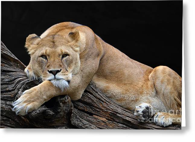 The Lioness Is Watching You Greeting Card by Eva Kaufman