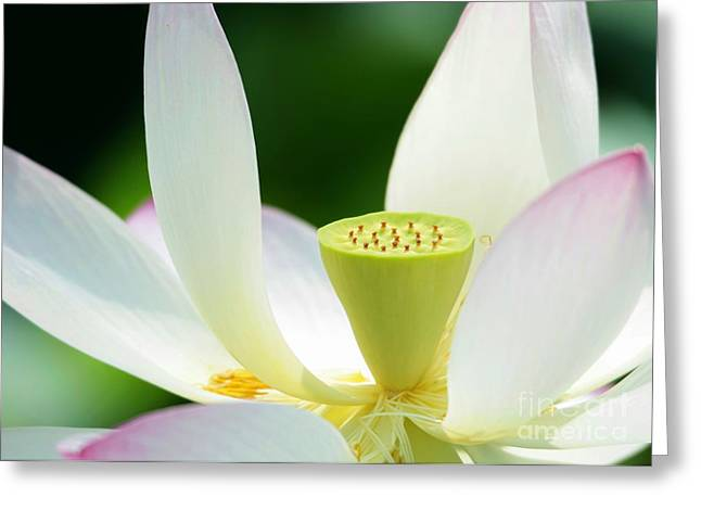 The Middle Of A Lotus Greeting Card by Sabrina L Ryan
