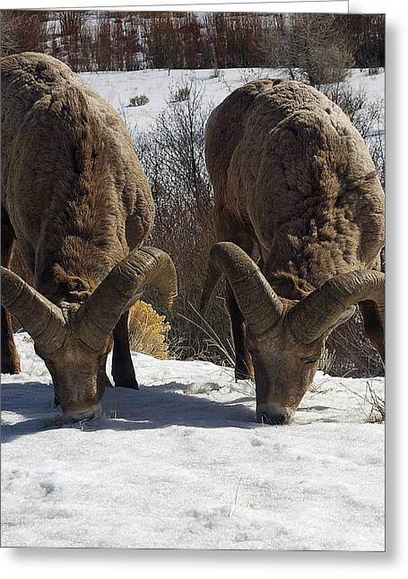 The Mountain Sheep Greeting Card