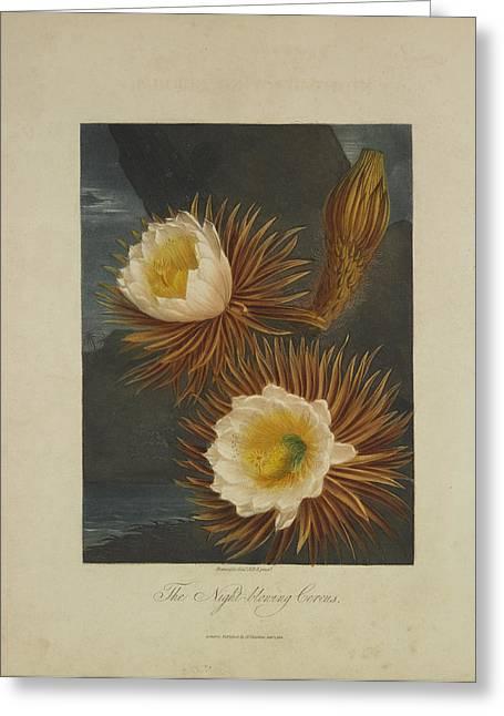 The Night-blooming Cereus Greeting Card by Robert John Thornton