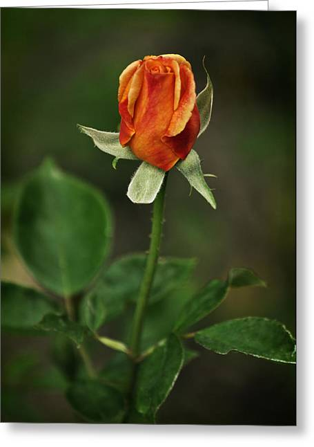 The Orange Rose Greeting Card