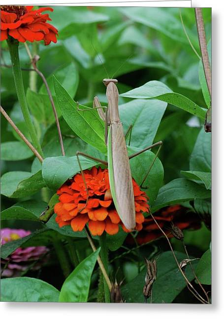 Greeting Card featuring the photograph The Patience Of A Mantis by Thomas Woolworth