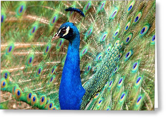 The Peacock Greeting Card by Paul Ge