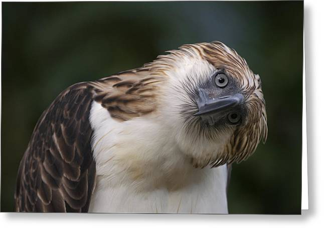 The Philippine Eagle Twists Its Head Greeting Card