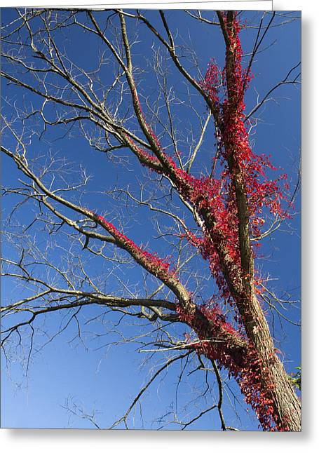 Greeting Card featuring the photograph The Red Tree by Nick Mares