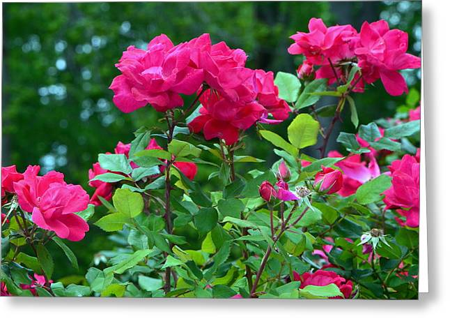 The Rose Garden Greeting Card by Tanya Tanski