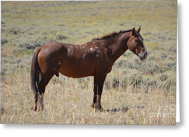 The Stallion - White Mountain Wild Horse Herd Greeting Card by Donna Greene