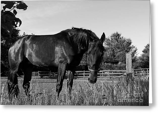 Greeting Card featuring the photograph The Stallion by Davandra Cribbie