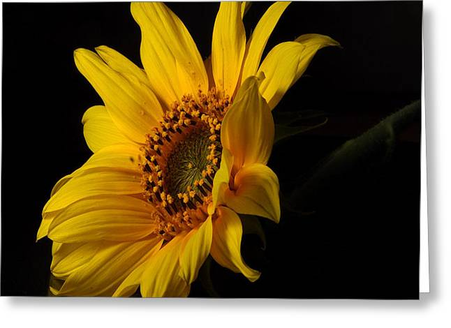 The Sun Flower  Greeting Card by Davor Sintic