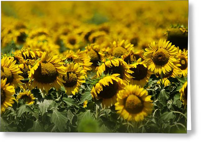 The Sunflower Patch II Greeting Card