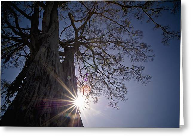 The Sunlight Shines Behind A Tree Trunk Greeting Card by David DuChemin