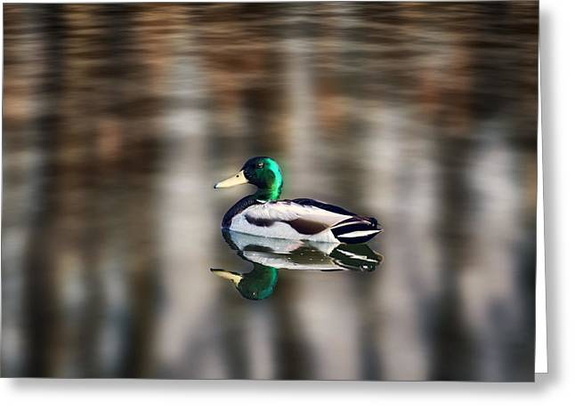 The Swimming Duck Greeting Card by Gary Smith