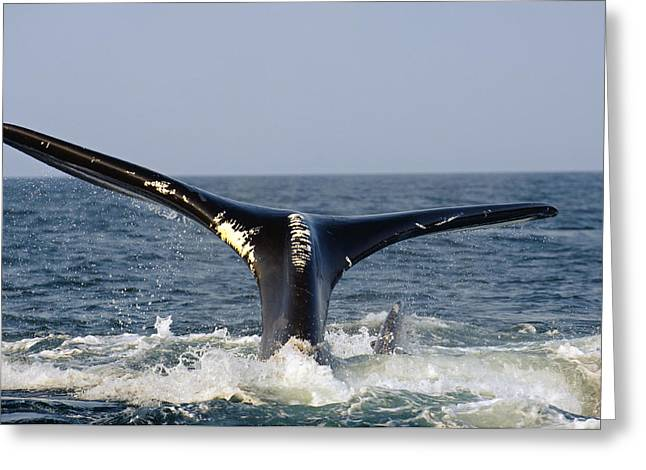 The Tail Of A Right Whale Showing White Greeting Card by Brian J. Skerry