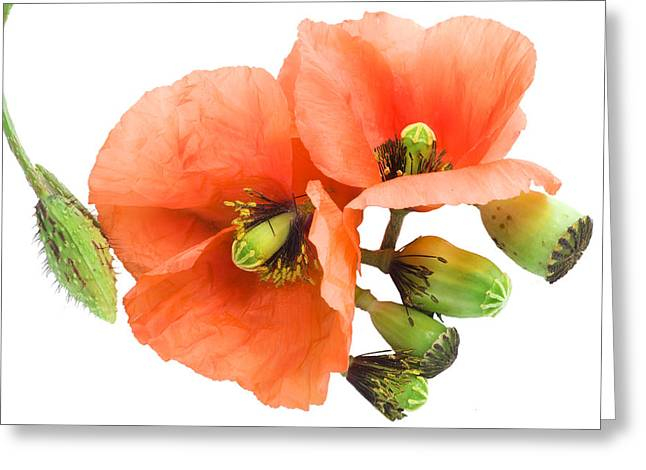 Greeting Card featuring the photograph The Torn Off Poppy. The Broken Life. by Aleksandr Volkov