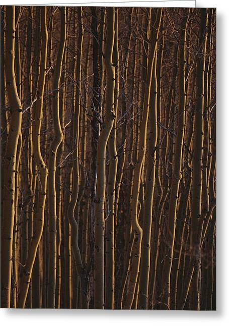 The Trunks Of A Dense Stand Of Aspen Greeting Card by Raul Touzon