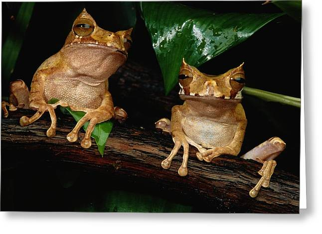 These Are Marsupial Frogs Gastrotheca Greeting Card by George Grall