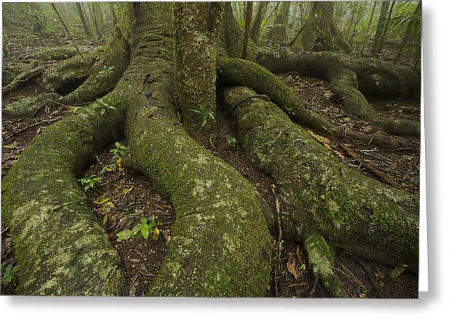 Thick Roots Radiate From The Base Greeting Card by Tim Laman