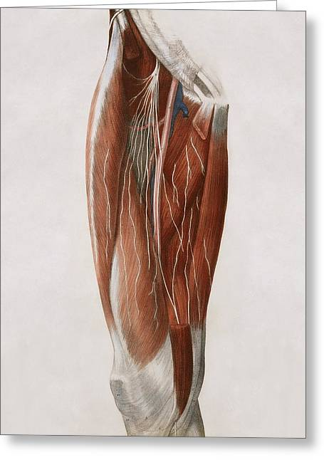 Thigh Nerves Greeting Card by Sheila Terry