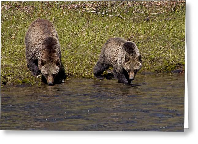 Greeting Card featuring the photograph Thirsty Grizzlies by J L Woody Wooden
