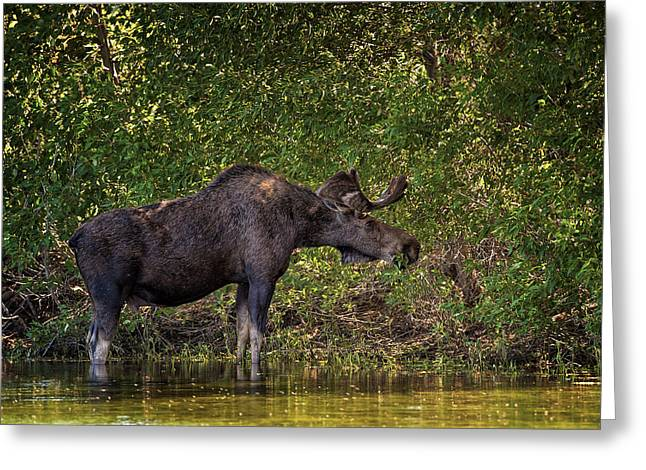 This Is Our World - No.16 - Moose Eating By The Lake Greeting Card by Paul W Sharpe Aka Wizard of Wonders