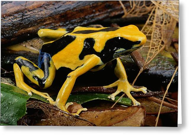 This May Be The Poison Frog Dendrobates Greeting Card by George Grall