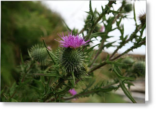 Greeting Card featuring the photograph Thistle Bloom by Lorraine Devon Wilke