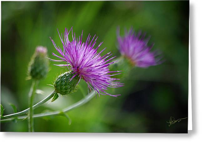Greeting Card featuring the photograph Thistle Dance by Vicki Pelham