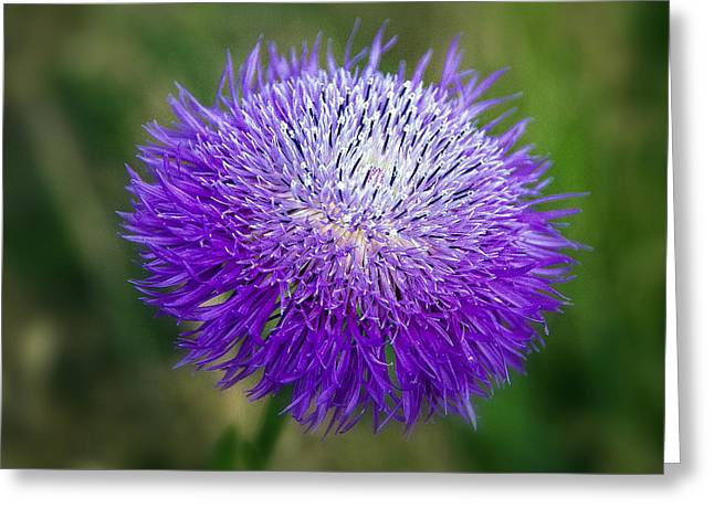 Thistle I Greeting Card by Tamyra Ayles