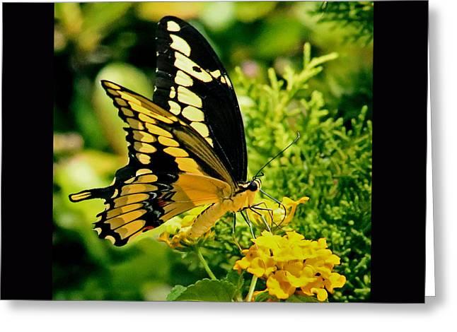 Thoas Swallowtail #1 Greeting Card by Rebecca Morgan