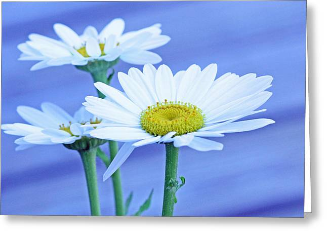 Three Daisies Greeting Card by Becky Lodes