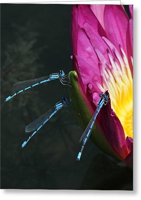 Three Damselflies On Pink Waterlily Greeting Card