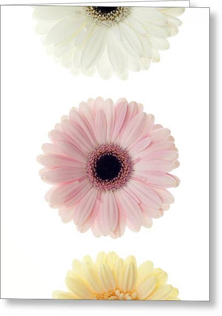 Three Gerber Daisies Greeting Card by Brad Rickerby