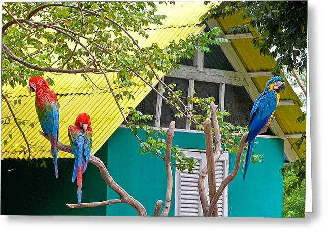 Three Parrots Greeting Card by Ann Murphy