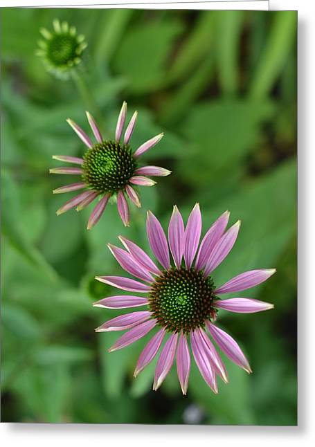 Three Stages Of A Coneflower Greeting Card