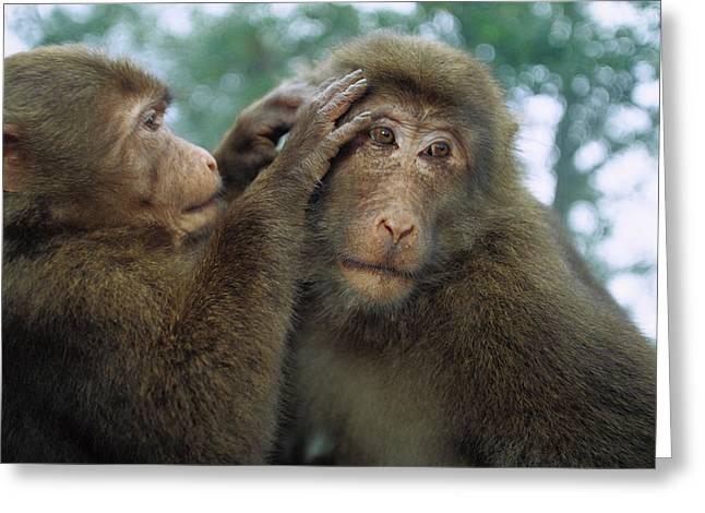 Tibetan Macaque Macaca Thibetana One Greeting Card by Cyril Ruoso