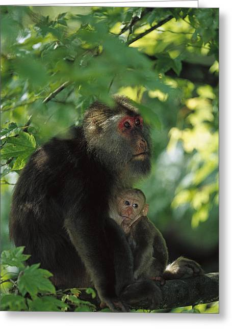 Tibetan Macaque Nursing Baby Greeting Card by Cyril Ruoso