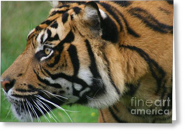Tiger Greeting Card by Carol Wright