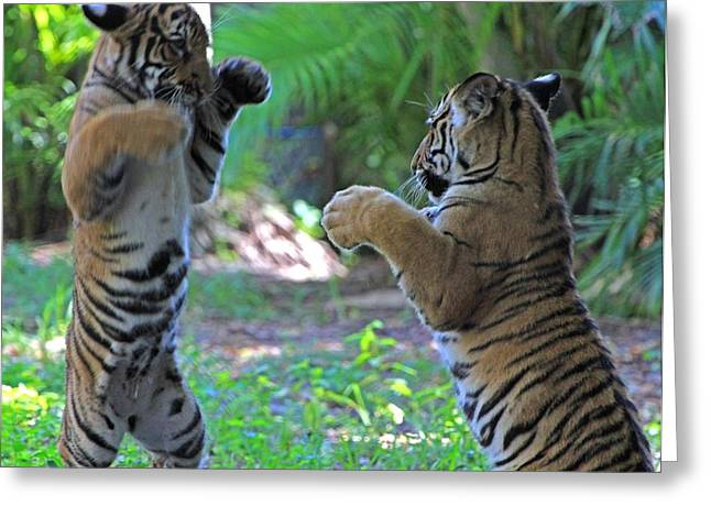 Tiger Cubs Boxing Greeting Card