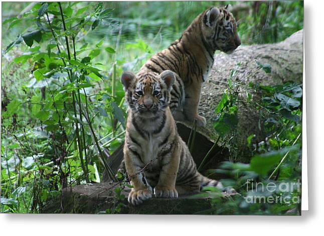 Tiger Cubs Greeting Card by Carol Wright
