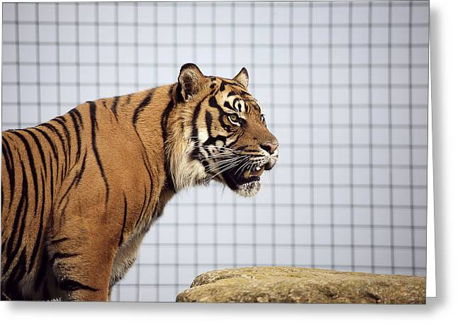 Tiger In Captivity Greeting Card by Linda Wright