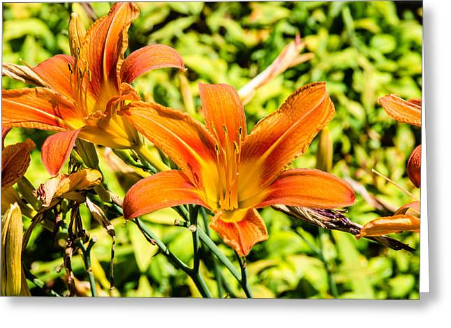 Tiger Lily 01 Greeting Card by Ken Beatty