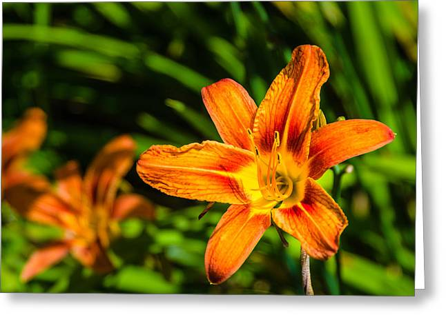 Tiger Lily 02 Greeting Card by Ken Beatty