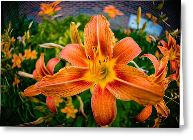 Tiger Lily 03 Greeting Card by Ken Beatty