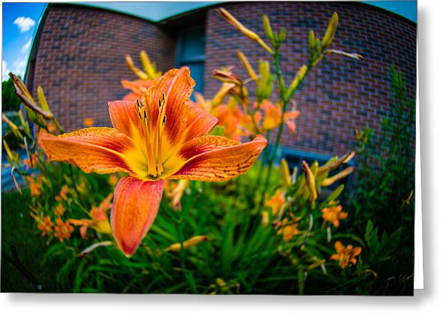 Tiger Lily 05 Greeting Card by Ken Beatty