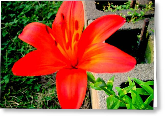 Tiger Lily Greeting Card by Amy Bradley