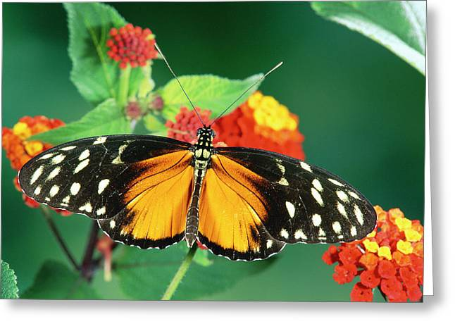 Tiger Longwing Heliconius Hecale Greeting Card by Michael & Patricia Fogden