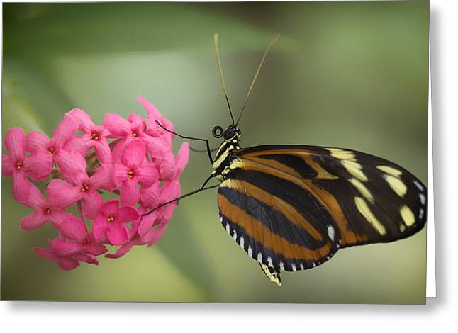 Tiger Longwing On Flower Greeting Card by Bill Tiepelman