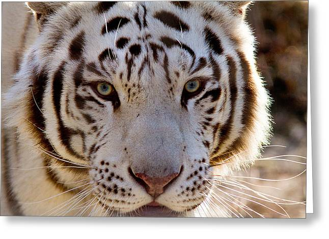 Tiger Stripes Exotic Animal Sanctuary 8 Greeting Card