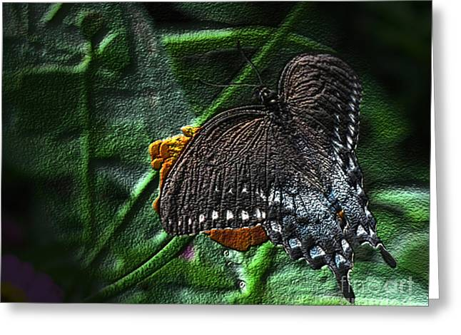 Spicebush Swallowtail Butterfly Dark Greeting Card by Donna Brown